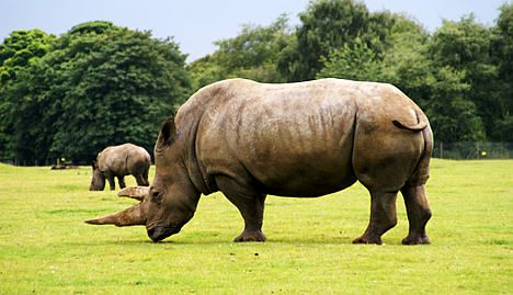 Swiss museum cuts off rhino horns to prevent theft