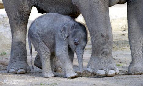Munich baby elephant first to get heart surgery