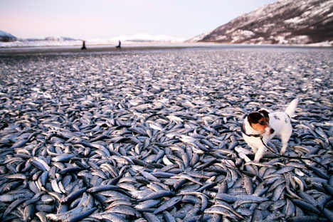 Predators behind mass herring deaths: experts