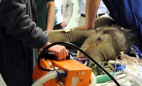 Munich baby elephant dies before operation
