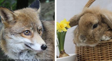Cops finger fox in 'copy-cat' rabbit robberies