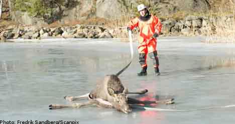 'It was just like Bambi': elk rescuer