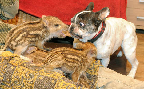 Six little pigs find new mum – a bulldog