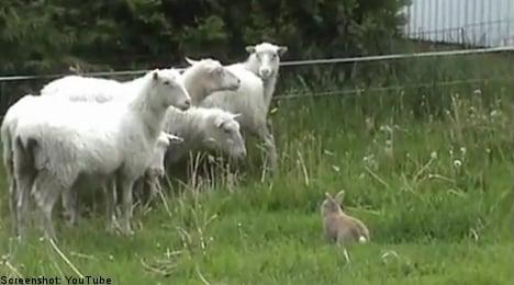 Sheep herding Swedish bunny hops to net fame