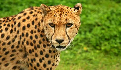 Norwegian tourist attacked by cheetah