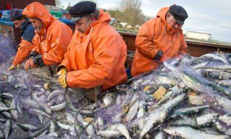 Herring fleet nets record catch despite seals