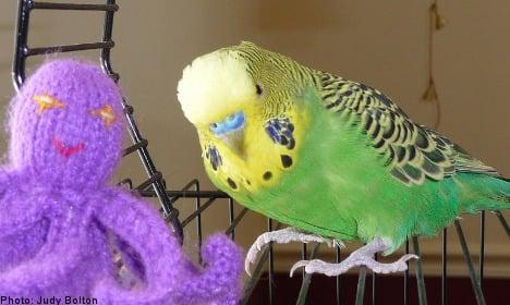 '<i>Jag älskar dig</i>': American parakeet learns Swedish