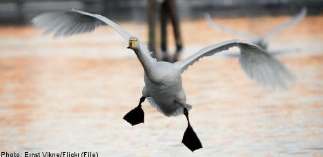 Swan 'chaos' erupts after Swedish rocket attack