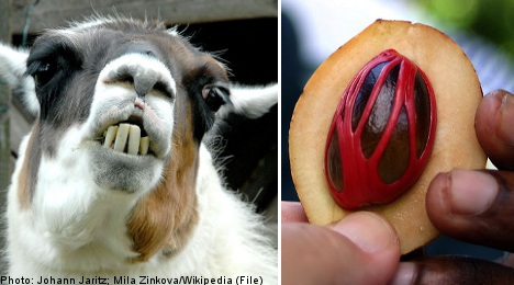 'Llama-man' jailed after nutmeg induced frenzy