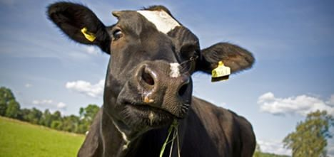 Rampaging cow tramples visitors in field
