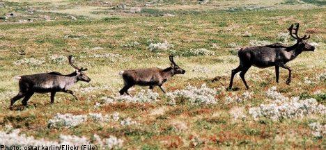 Train kills reindeer 'like meat grinder': farmer