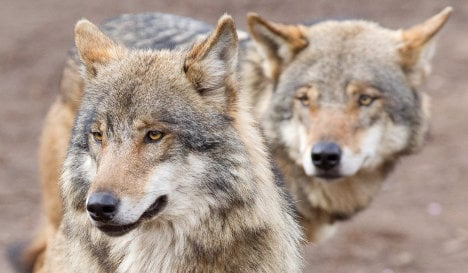 Wolves 'dine on deer, shun sheep'