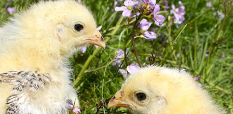 Free chicks for French village people