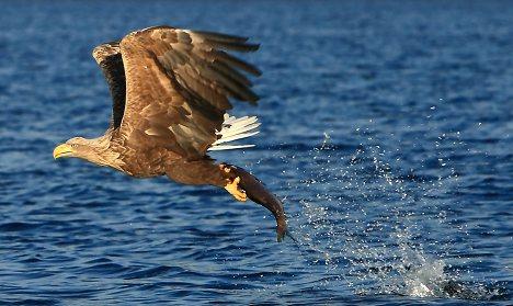 The white-tailed eagle soars again