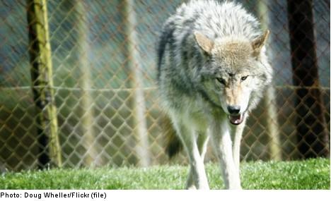 Swedish teenage girl hurt in freak wolf attack