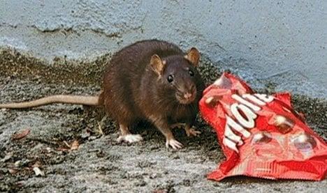 Rats rampant in Hamelin, break fountain
