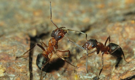 'Contract killer' ants provoke others to attack