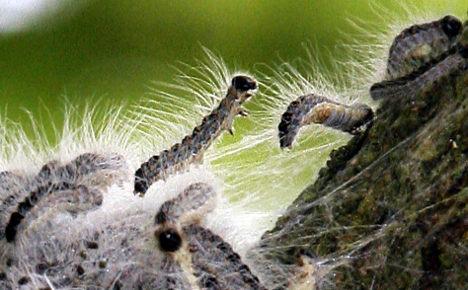 Poisonous caterpillars plague Germany
