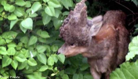 Deformed deer found in Swede's front garden