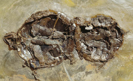 Fossilised turtle orgy a world first