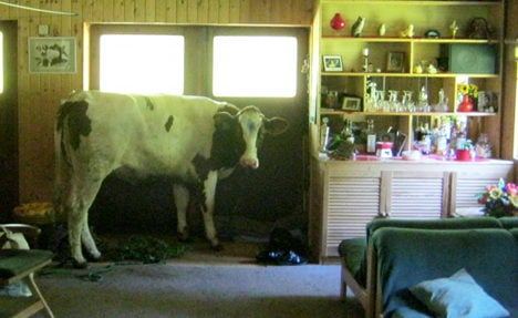 Cow sees reflection rival, jumps into kitchen