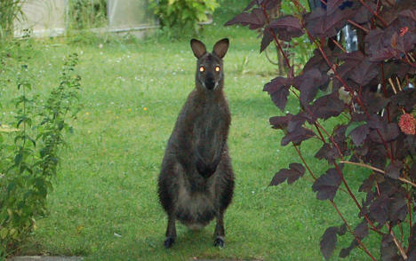 Police hunt Bernhard the fugitive kangaroo