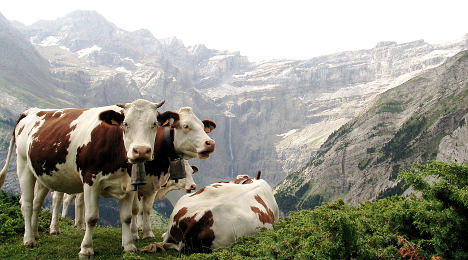 Cows attack woman hiking in Alpine meadow