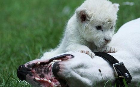 Daddy dog adopts lion