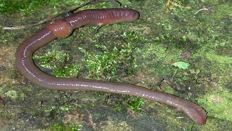 French worms colonise Irish farm