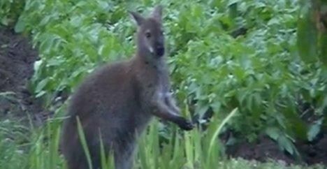 Skippy the French kangaroo woos village