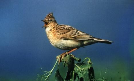 Half of field birds gone, modern farms to blame