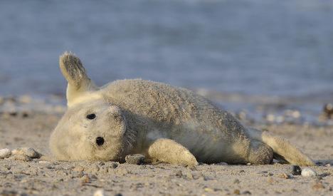Fishy demand for North Sea seal cull
