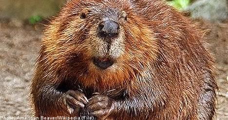 Local authorities prepare to hunt Swedish beavers