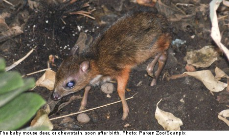 Sweden's first ever 'tiny' mouse deer born in zoo