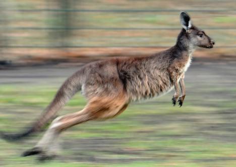 Fox and boar help kangaroos escape