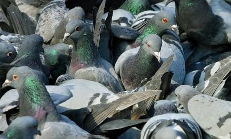 Vigilante pigeon hunter regains license to kill