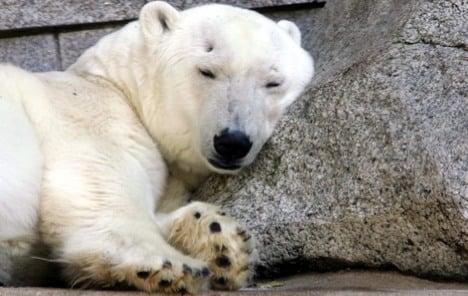 Polar bear herpes case stumps scientists