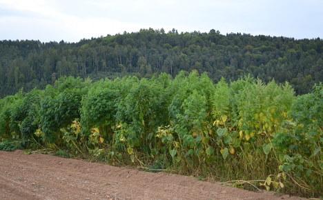 Farmer starts 'accidental cannabis plantation'