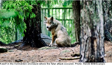 Wolves were aggressive prior to fatal attack