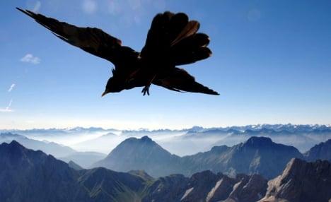Finding grace in Alpine avian acrobatics