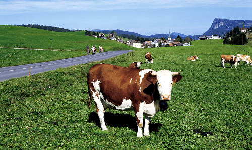 Hit-and-run driver collides with six cows