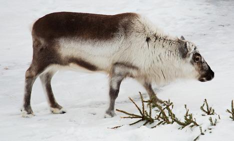 Norway study reveals reindeer rain fears