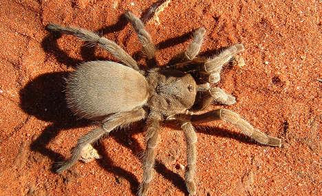 200 live tarantulas found in suitcase
