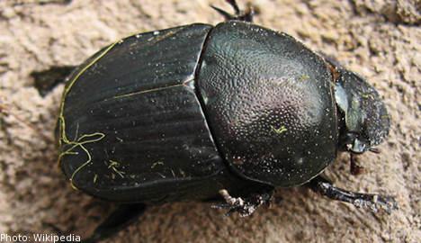 Beetle beats heat with manure: Swedish study