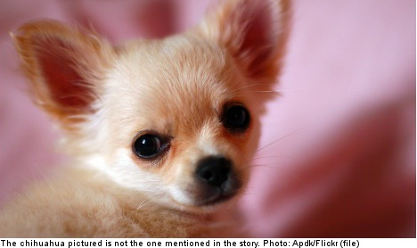 Chihuahua dead after police 'hit and run'