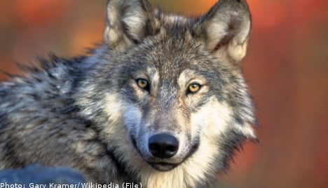 DNA test proves wolf behind sheep attacks