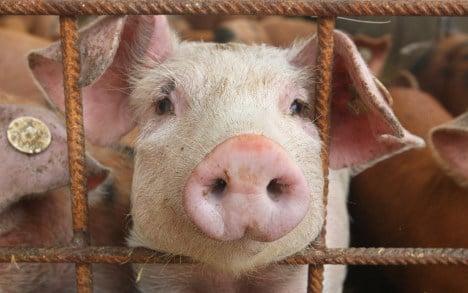 Man finds roasted pig's head in pram
