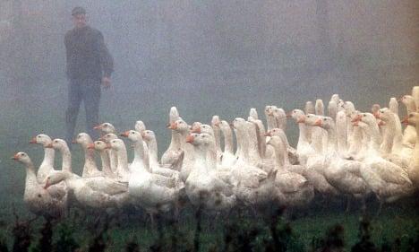 Goose carnage as fog engulfs Germany