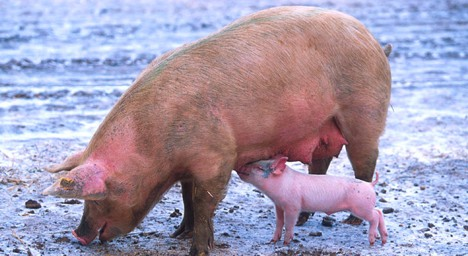 Virus prompts Bern to close pig farms