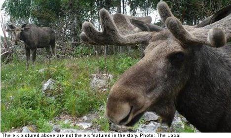 Swedish elk hunter dead after partner's misfire